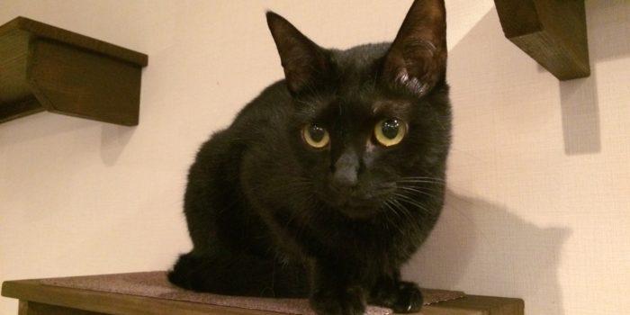 ヤマト(黒猫)オス 2才